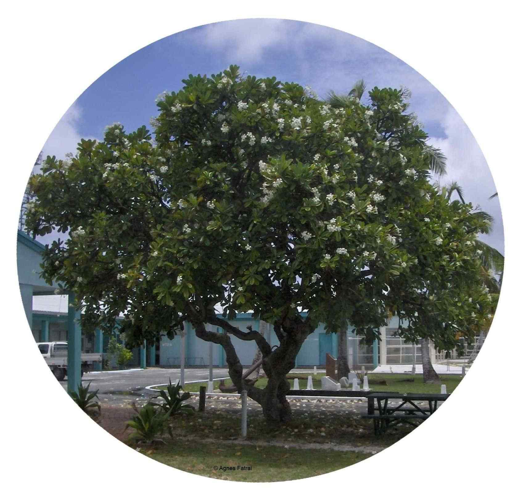 Tipani-Baum