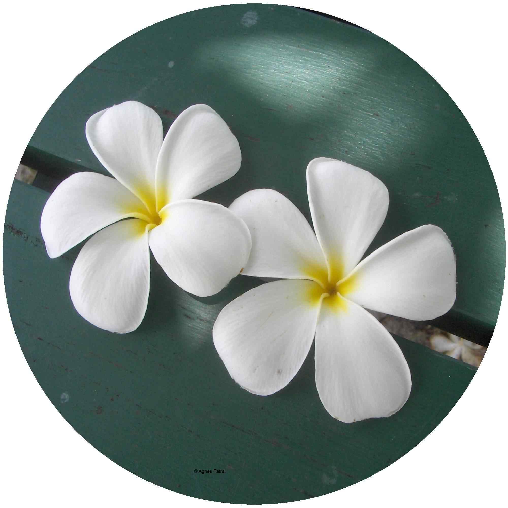 Blüte Tipani